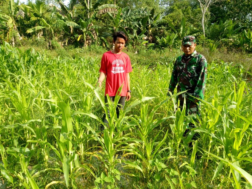 Babinsa Nipah Panjang 1 Selalu Memonitoring Perkembangan Jagung Kodim 0419 Tanjung Jabung